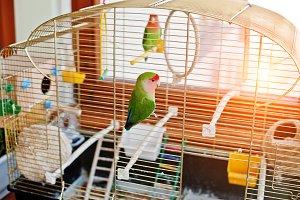 Funny lovebird parrot