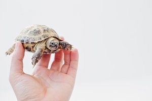 Small asian overland turtle