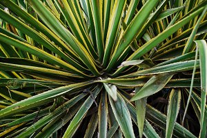 green and yellow agave