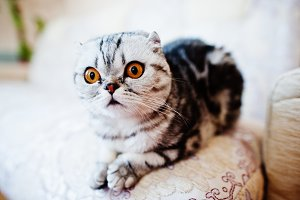 scottish fold kitten.
