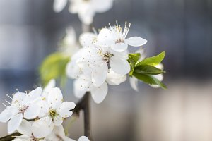 White blossom cherry flower