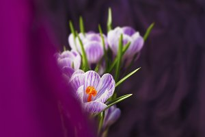 Crocus flowers on violet background.