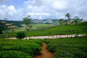 Dalat green tea plantation