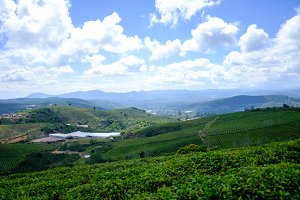 Dalat green tea plantation on wester
