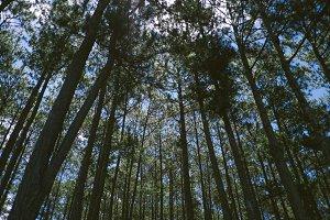 Walking through pine forest