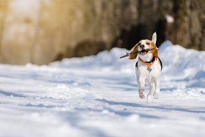 Beagle dog runs and plays in the win