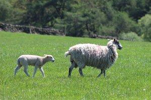 Photo Sheep and Lamb