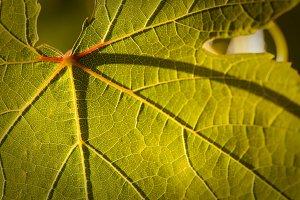 Dramatically Lit Grape Leaf Details