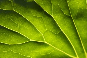 Macro Backlit Large Leaf Abstract
