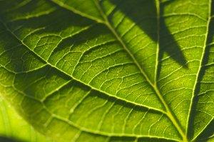Macro Backlit Leaf Detail