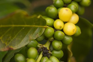 Coffee Beans on the Branch in Kauai