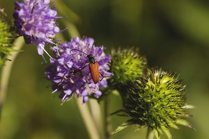 red beetle on hallium flower