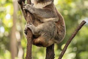 Cute Australian Koala