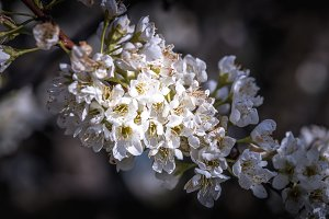 Branch of blossoming fruit tree