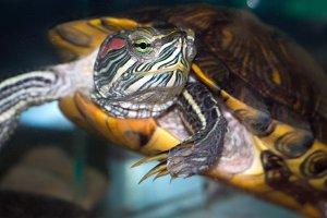 turtle in the aquarium