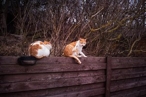 Two red orange cats on wood wall