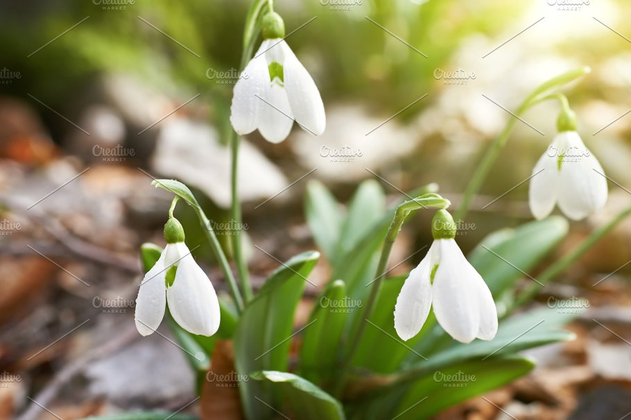Snowdrops first spring flowers nature photos creative market snowdrops first spring flowers nature mightylinksfo