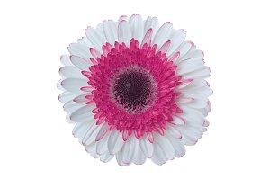 gerbera flower isolated