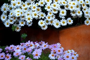 Two daisy beds white and pink