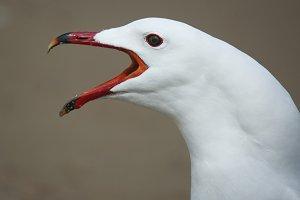 Audouins's gull ( Larus audouinii)