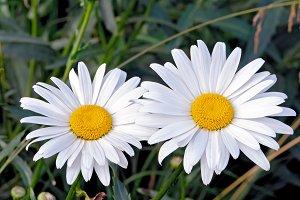 Two white chamomiles