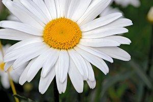 One white chamomile