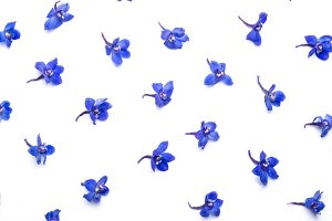 Blue Flower on White Background