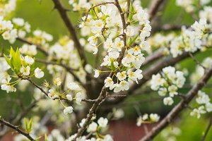Branches of a flowering plum