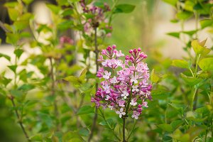 purple lilac bush blooming in spring