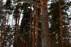 Russian landscape. Pine forest.