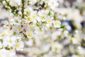 Blooming wild plum tree