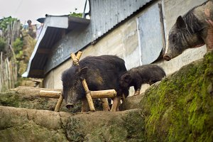 Black pigs, Philippines village