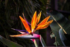 Strelitzia, exotic flower