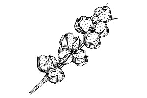Cotton plant engraving vector illustration