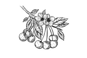 Cherry branch engraving vector illustration