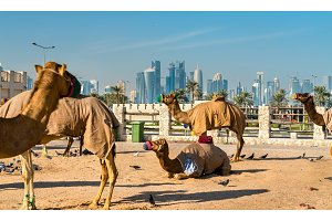 Camel market at Souq Waqif in Doha, Qatar