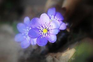 Blue Anemone hepatica.