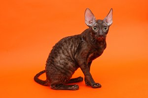 Kitten breed Cornish Rex
