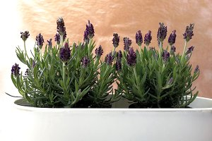 wild lavender in a gardener