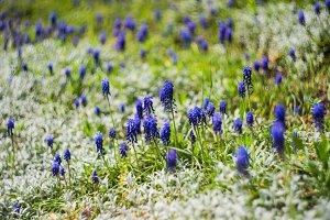Wild hyacinth flowers