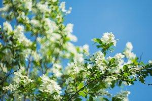 Blooming Jasmine bush