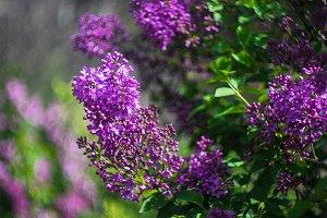 Lilac bush blossoming