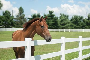 Horse Looking Over White Fence