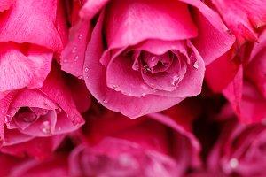 many fresh pink roses