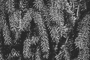 Branches of spruce background