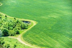 Green field of wheat