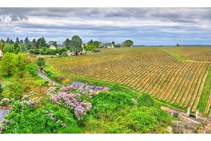 Vineyard in Chinon - Loire Valley, France