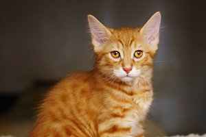 Lovely red thoroughbred kitten