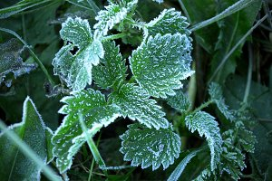 Autumn. Hoarfrost on the nettle