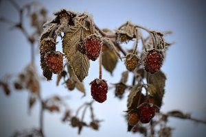 Autumn. The frozen raspberry